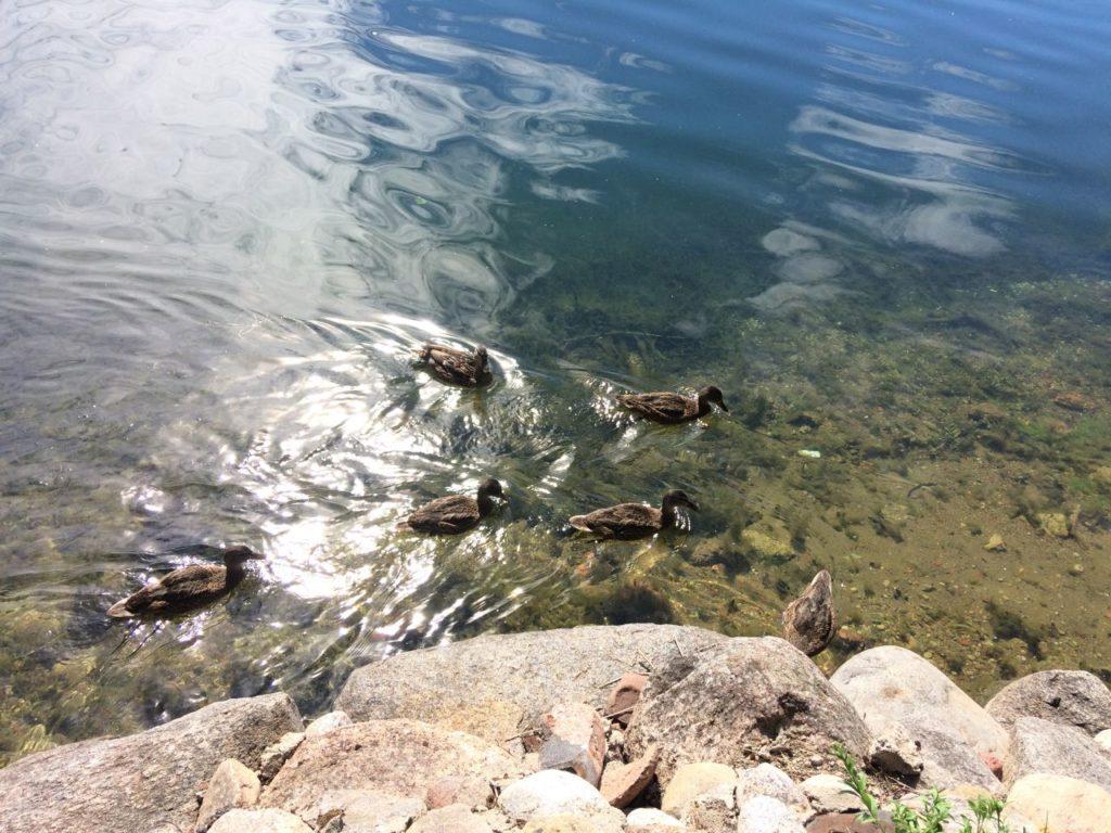 troki-kaczki-nad-jeziorem