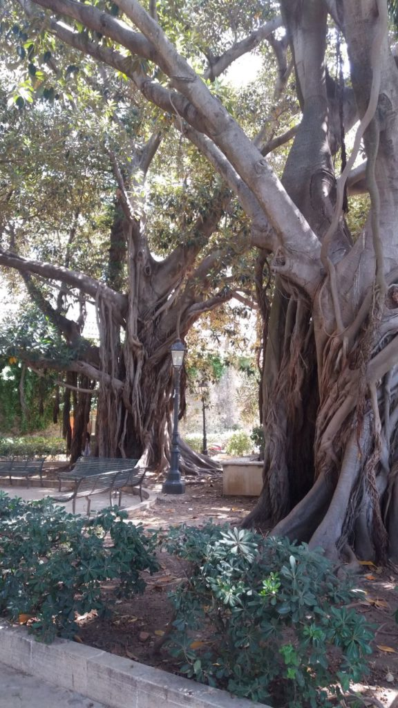 syrakuzy-stare-drzewa