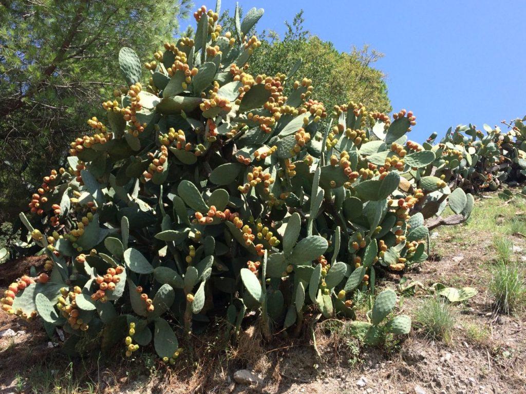 taormina-sycylia-kaktus