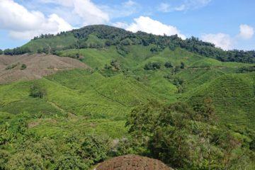 cameron-highlands-herbata-oniontrip-11