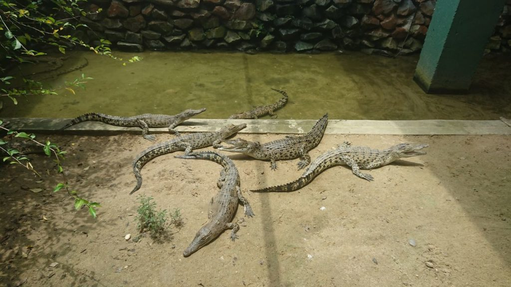 jong-crocodile-farm-4