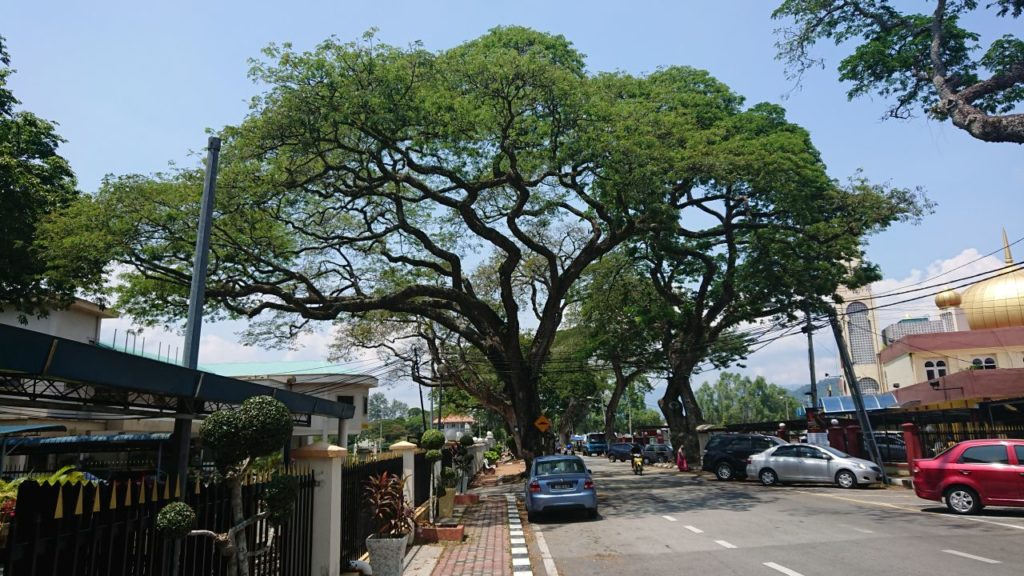 kuala-kangsar-drzewo